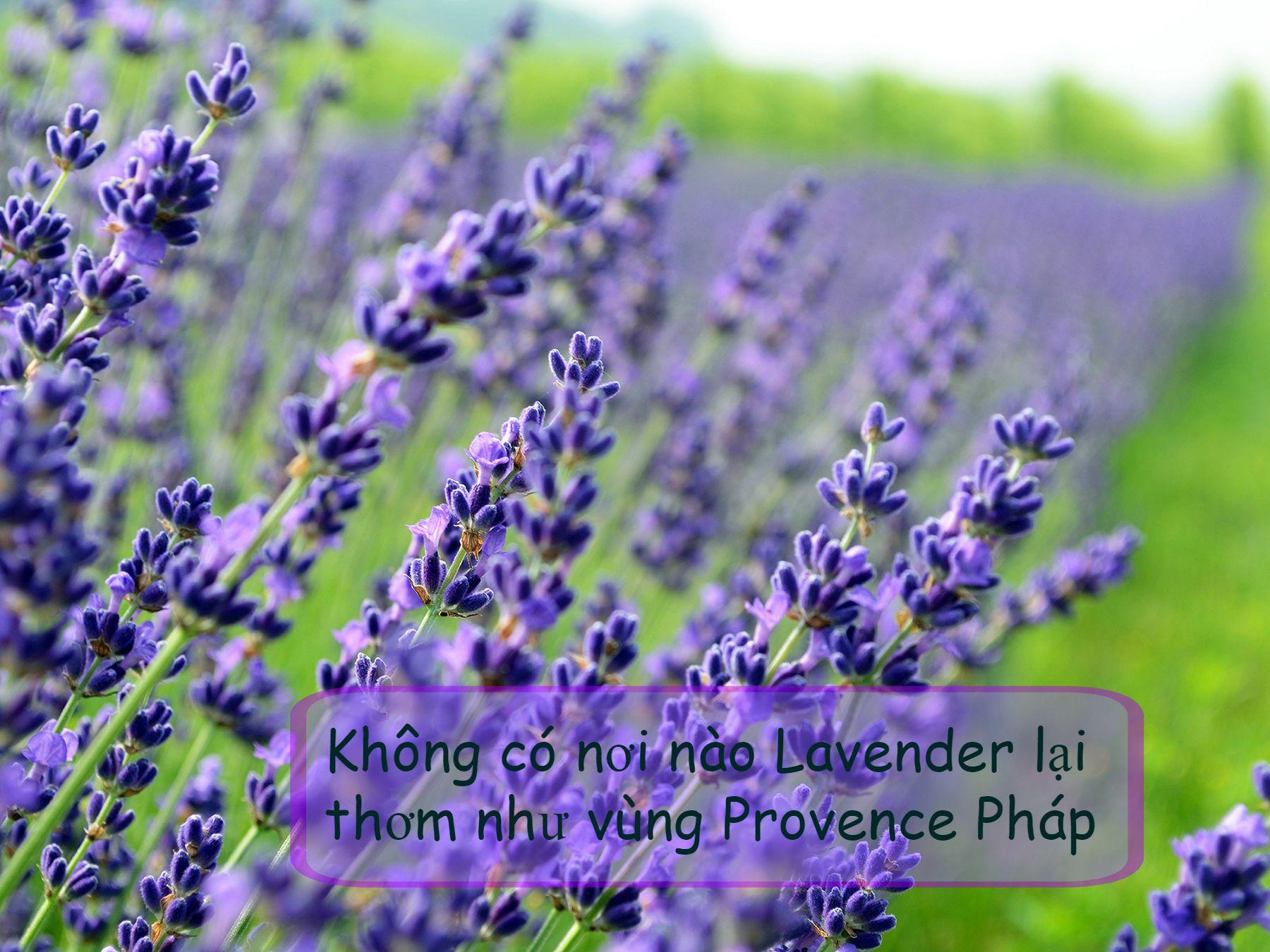 sự tinh tế và lãng mạn của người pháp cũng bay bổng như những cánh đồng  hoa oải hương bất tận
